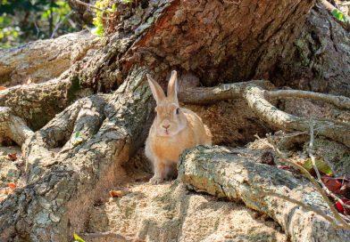 Okunoshima : L'ile aux lapins