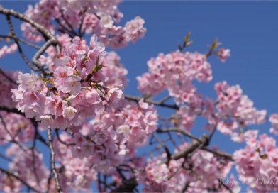 Première floraison à Tokyo